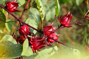 Bright red ripe Roselle fruit on Woody stems  of shrub, green leaves surrounding them that have catapillar holes in them