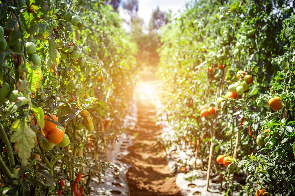 Brightly choirs tomatoes and chillies hang from luscious tall green vines on either wife of image. The sun light shines brightly down the centre soil path between plant rows.